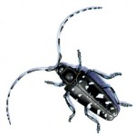 Asian Longhorn Beetle - picture courtesy City of Pittsfield website